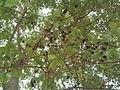 Anogeissus latifolia (YS) (4).jpg
