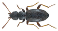 Anthicus flavipes (Panzer, 1797) (21006490450).png
