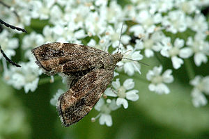 Anthophila (moth) - Anthophila fabriciana