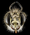 Anthophora plumipes, M, Head, N.A 2013-04-19-14.28.22 ZS PMax (8667378432).jpg