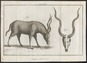 Antilope kudu - 1700-1880 - Print - Iconographia Zoologica - Special Collections University of Amsterdam - UBA01 IZ21400159.tif