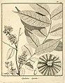 Apalatoa spicata Aublet 1775 pl 147.jpg