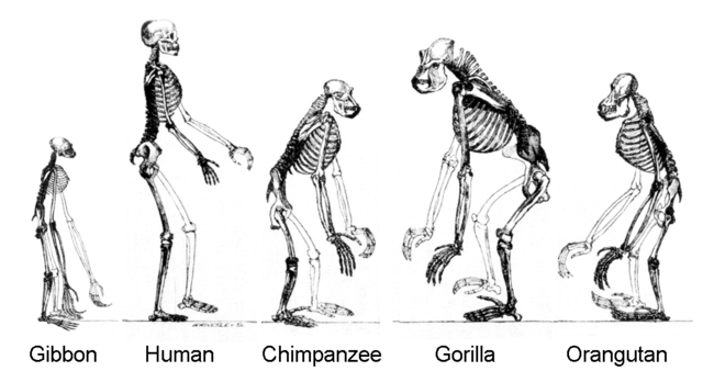 The hominoids are descendants of a common ancestor. Ape skeletons.png