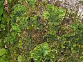 Apfelflechte Peltigera aphtosa OhWeh-004.jpg