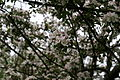 Apple-tree-blooms - West Virginia - ForestWander.jpg