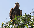 Aquila rapax -Samburu National Reserve, Kenya-8.jpg