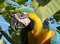 Ara ararauna (Guacamaya azul y amarilla) (14644231855).jpg