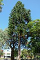 Araucaria australiana (Araucaria bidwillii) - Flickr - Alejandro Bayer (3).jpg
