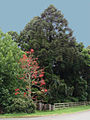Araucaria bidwillii - Brachychiton acerifolius - Rainforest trees - bunya and illawara by Tatters.jpg