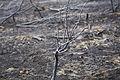 Arbusto quemado (14511654229).jpg
