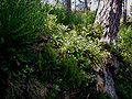 Arbutus-unedo-Corsica.JPG