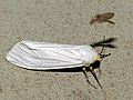 Arctiid Moth (Amsacta grammiphlebia) (12718663135).jpg