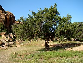 Argan Tree near Tafraoute.jpg
