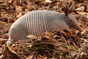 Neunbinden-Gürteltier (Dasypus novemcinctus)