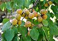 Armeniaca vulgaris Wild Apricot ჭერამი.jpg