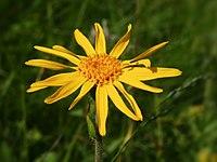 Arnica montana (flower head).jpg