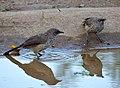 Arrow-marked Babblers (Turdoides jardineii) (14048132491).jpg