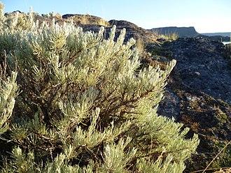 Artemisia rigida - Artemisia rigida at Banks Lake, Grant County Washington