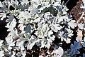 Artemisia stelleriana 'Silver Brocade' kz01.jpg
