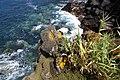Arundo donax vulgo Cana, Musgos e urze na Costa da Baía da Villa Maria, ilha Terceira, Açores, Portugal.JPG