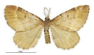 <i>Asaphodes imperfecta</i> species of moth
