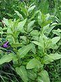 Asclepias syriacus - Flickr - peganum.jpg