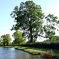 Ash Trees by the Trent and Mersey Canal, Weston, Staffordshire - geograph.org.uk - 598660.jpg