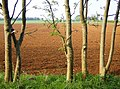 Ash trees and red earth - geograph.org.uk - 461674.jpg