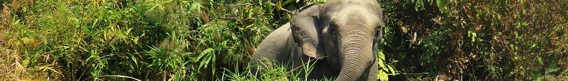 Asian Elephant in Inani, Cox's Bazar (cropped).jpg
