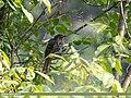 Asian Koel (Eudynamys scolopaceus) (38899800844).jpg