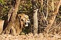 Asiatic Lion-5.jpg