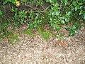 Asparagus aethiopicus 'Sprengeri' L. (AM AK226531-2).jpg