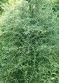Asparagus verticillatus kz02.jpg