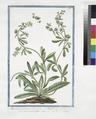 Asperugo vulgaris - Buglossum sylvestre caulibus procumbentibus - Buglasso salvatico. (Madwort) (NYPL b14444147-1125055).tiff