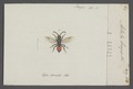 Astata - Print - Iconographia Zoologica - Special Collections University of Amsterdam - UBAINV0274 043 08 0009.tif