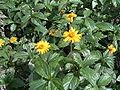 Asteraceaepraia1.jpg