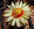 Astrophytum flowers 121.jpg