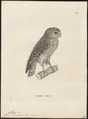 Athene cunicularia - 1700-1880 - Print - Iconographia Zoologica - Special Collections University of Amsterdam - UBA01 IZ18400053.tif