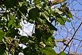 Atlas roslin pl Bluszcz pospolity 7716 7113.jpg