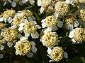 Atlas roslin pl Krwawnik kichawiec 9025 6210.jpg