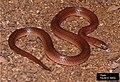Atractus reticulatus.jpg