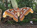 Attacus atlas - Atlas moth at Peravoor 2017 (12).jpg