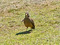 Austral thrush (Falklands subspecies) (Turdus falcklandii falcklandii).jpg
