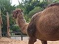 Australia Queensland camels - panoramio.jpg