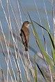 Australian Reed Warbler (Acrocephalus australis) (8079710071).jpg
