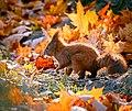 Autumn squirrel (23321994886).jpg