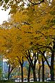 Autumn trees in Chicago (6324875712).jpg