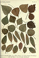 Autumnal leaves (Plate 10) (6796245495).jpg