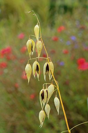 Avena sativa subsp. Nigra.