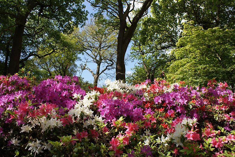 File:Azaleas in a Landscape Isabella Plantation.jpg